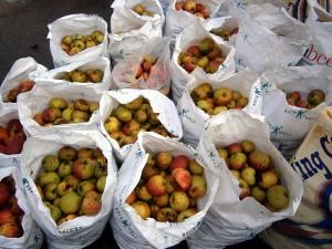 Apples ready for shredding